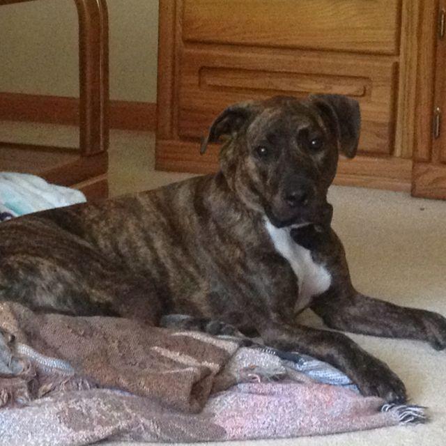 Pitbull boxer lab mix dogs puppies pinterest