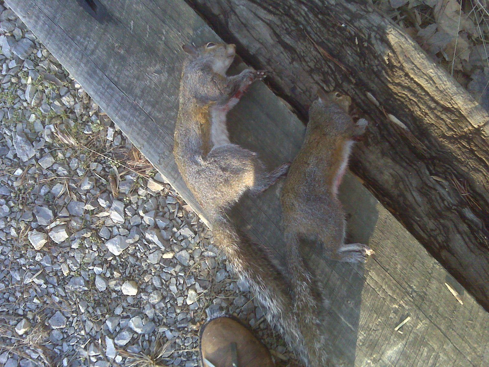 Fat Squirrel With Guns