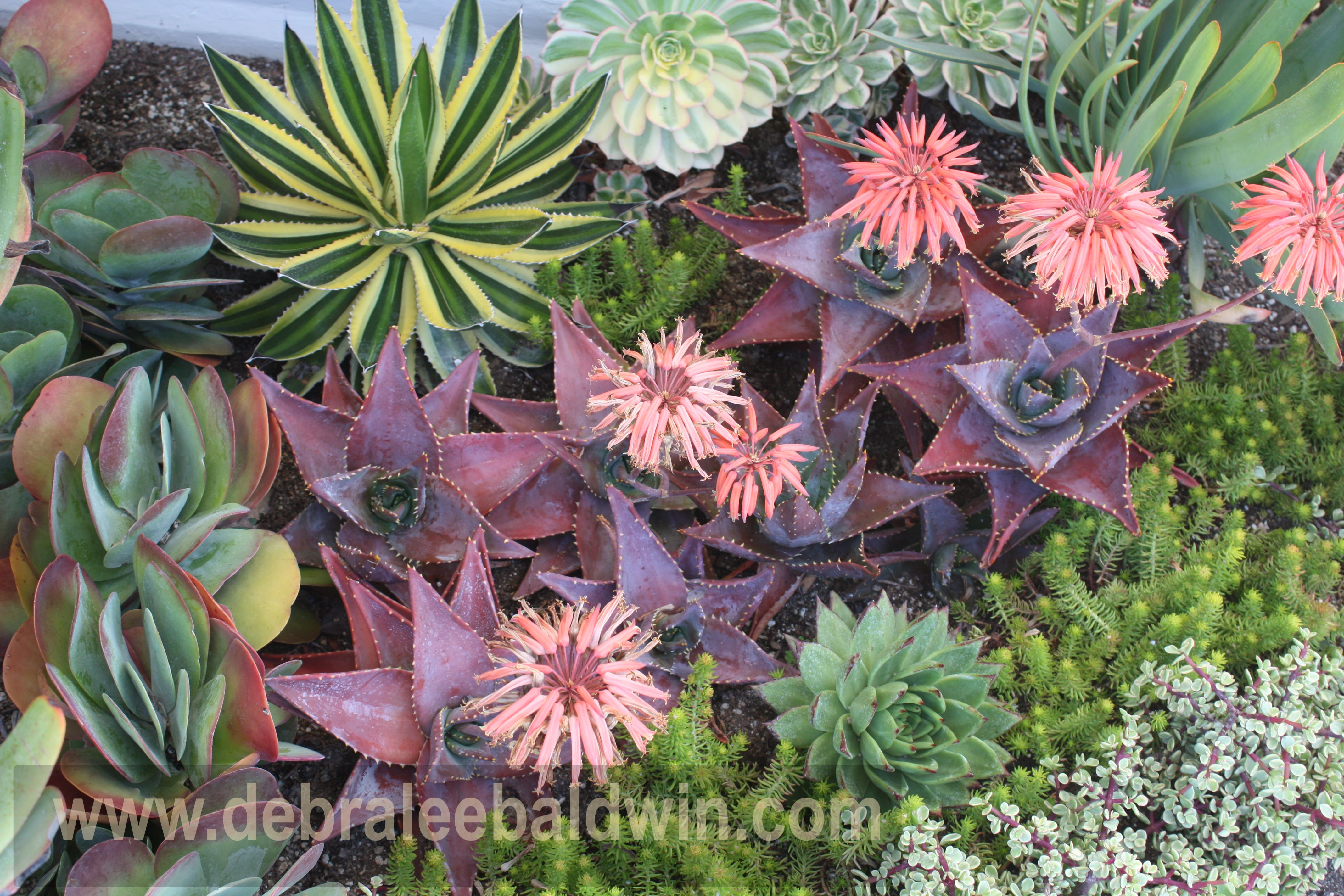Pin by nadine may on plants shrubs and succulents pinterest for Decoration jardin cactus
