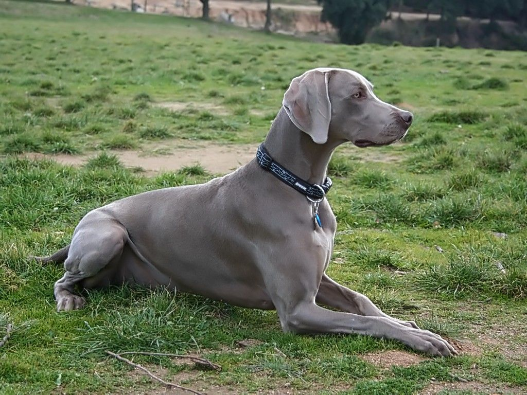 Dogs Like Weimaraner