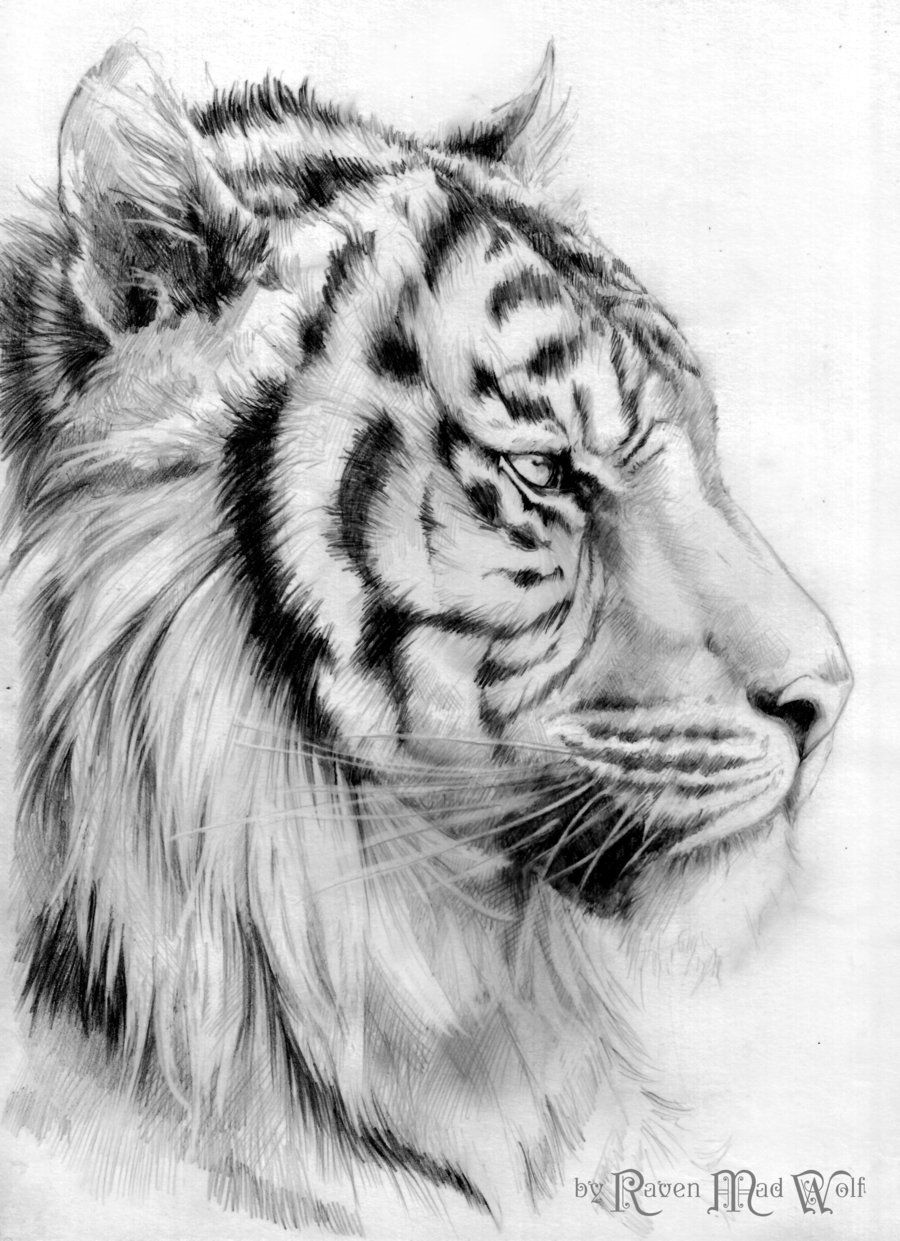 Roaring tiger black and white drawing