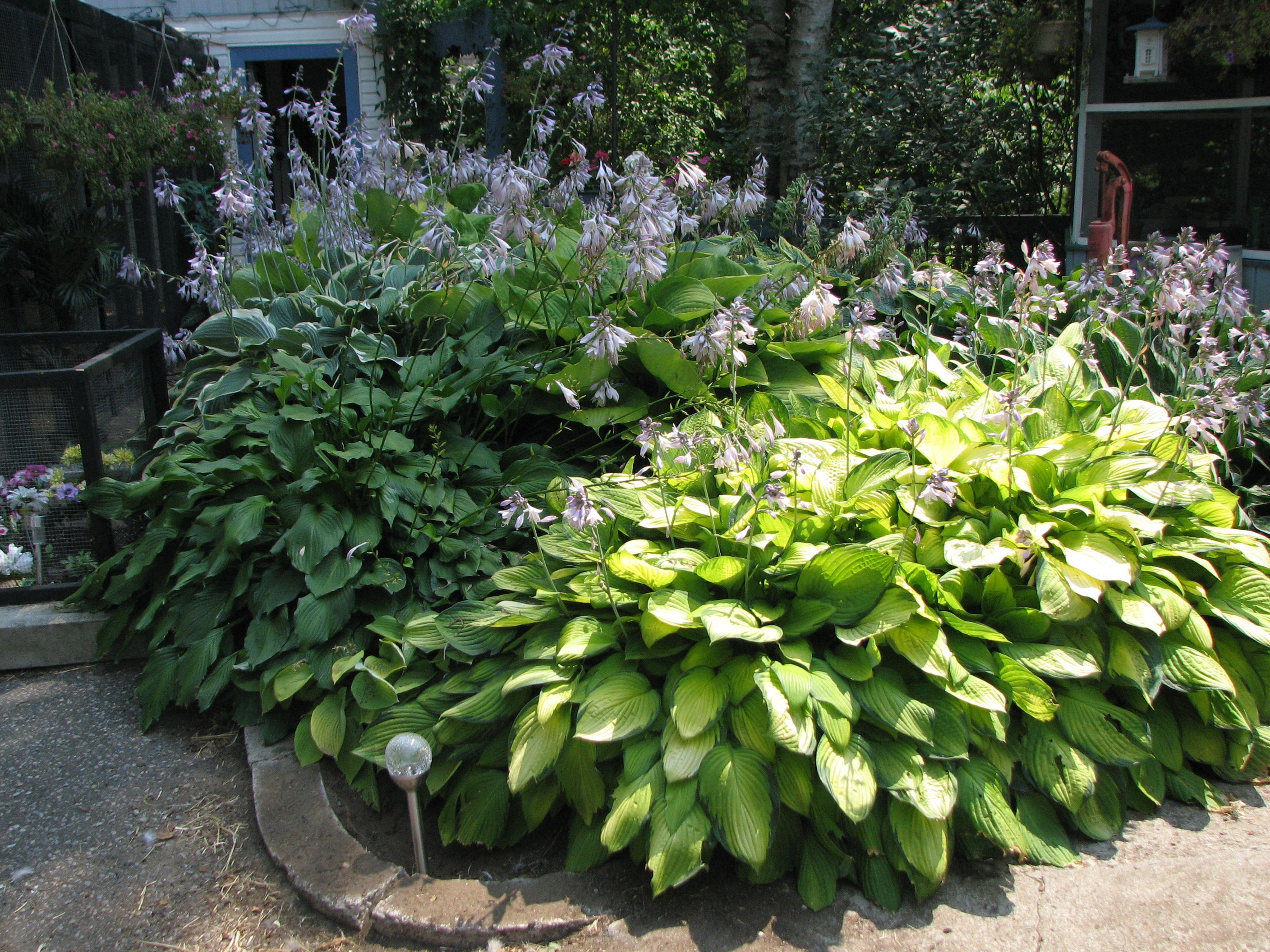 hosta garden Garden and Landscaping Ideas Pinterest