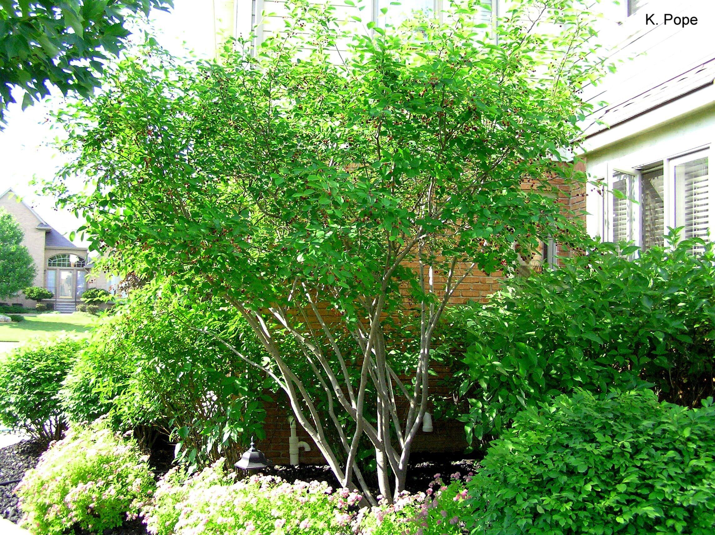 serviceberry trees and shrubs nyc pinterest. Black Bedroom Furniture Sets. Home Design Ideas
