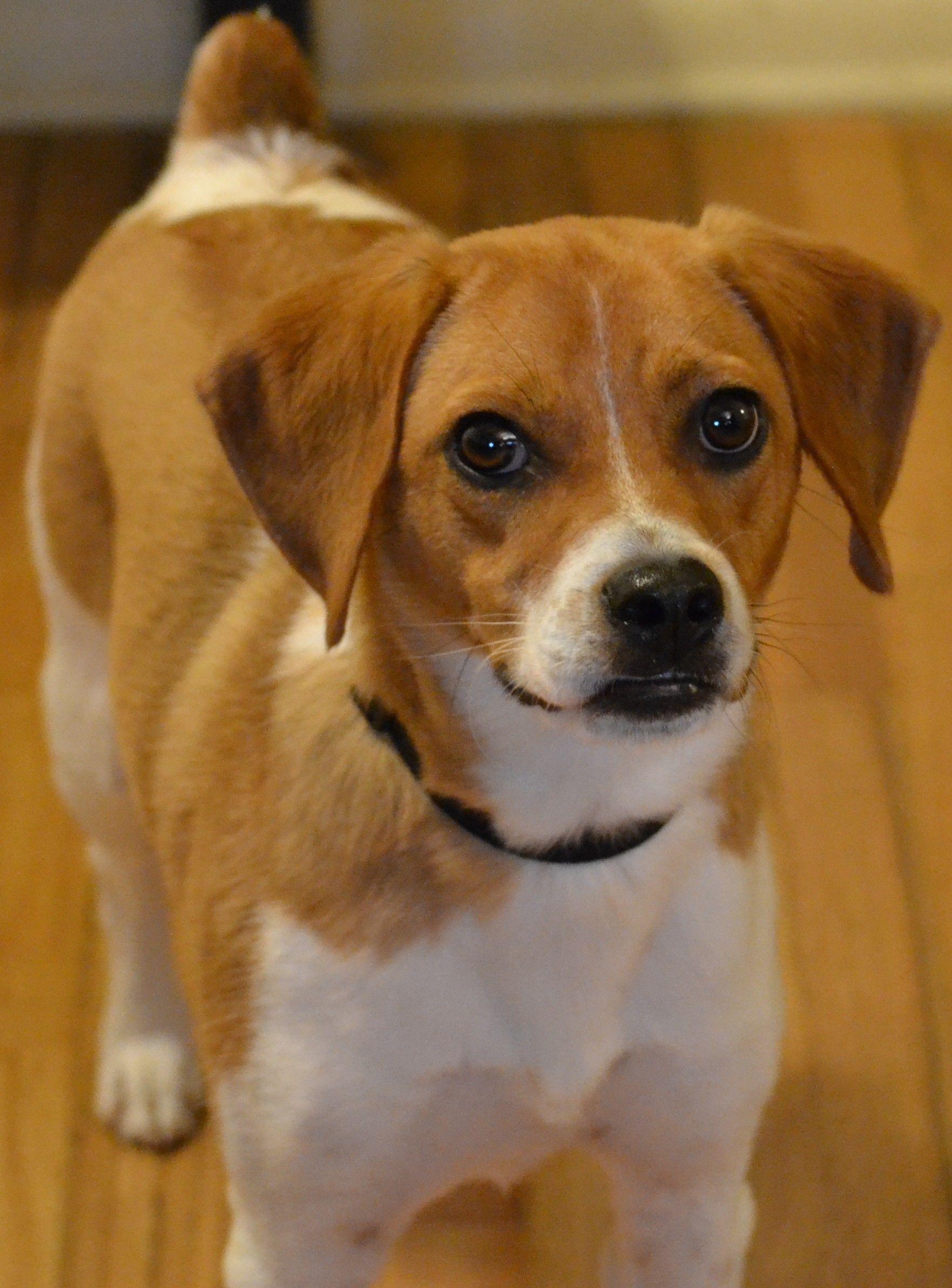 shih tzu beagle mix