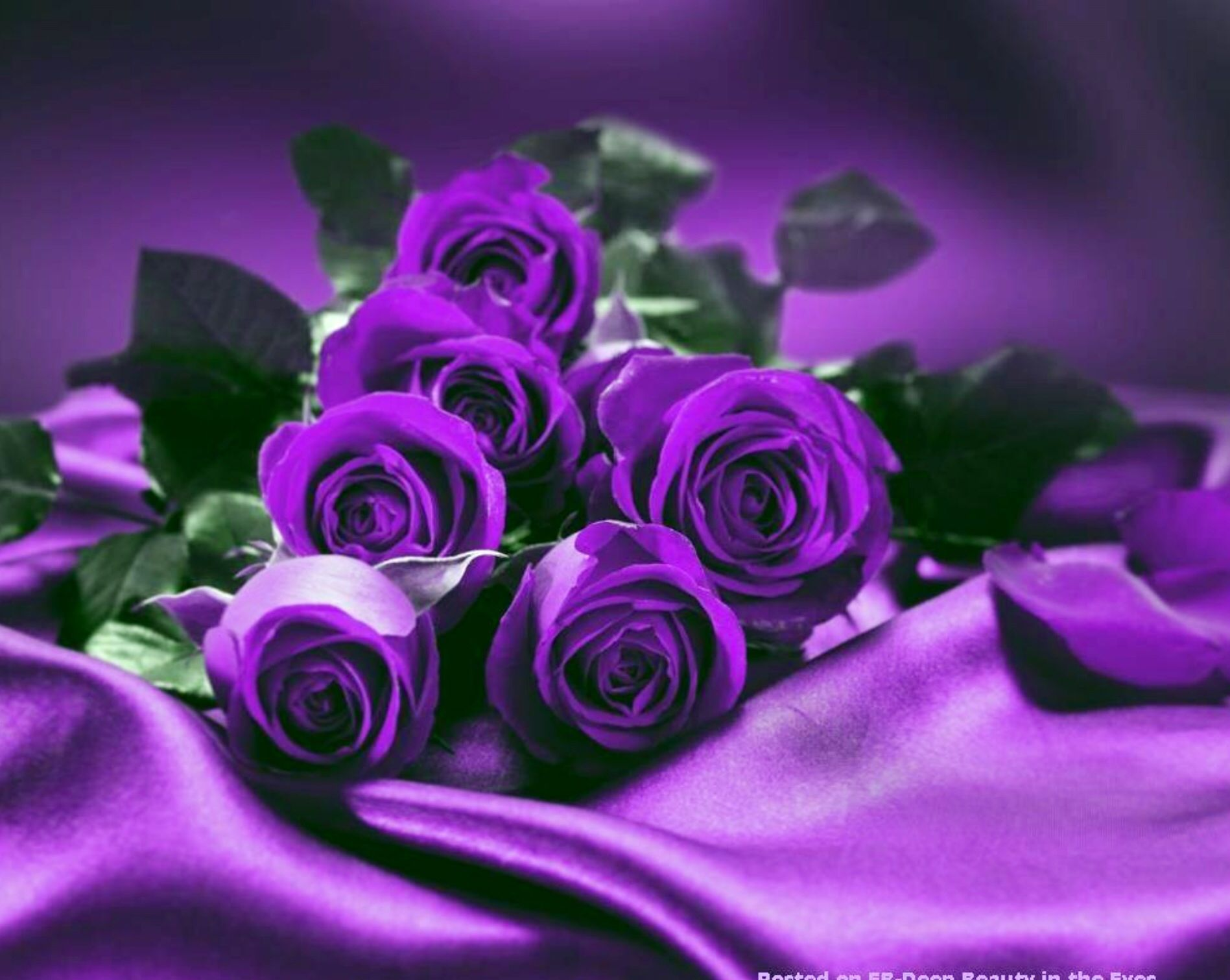 Purple roses everything purple pinterest for Purple rose pictures