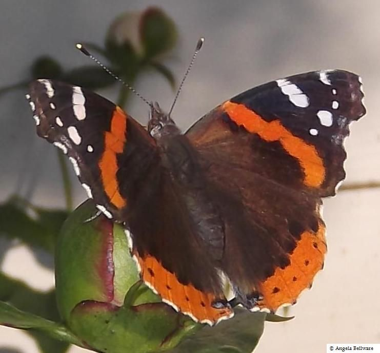 Red Admiral Butterfly | Butterflies | Pinterest