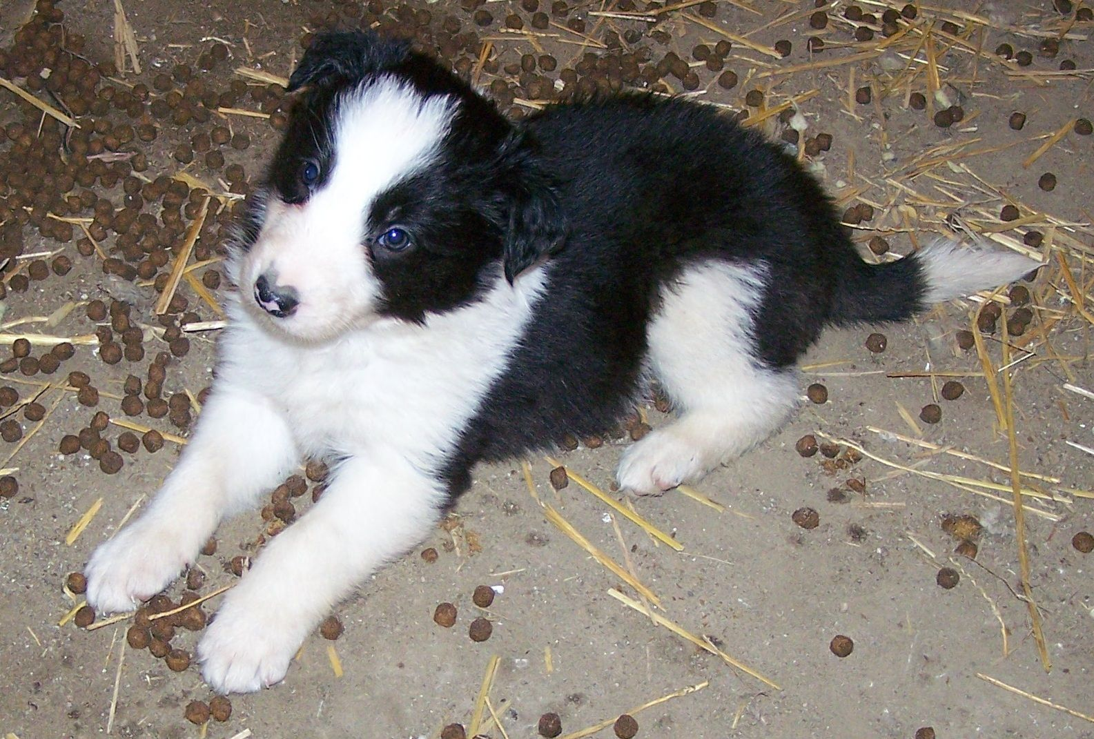 Border Collie baby pic | My boy, - 801.2KB