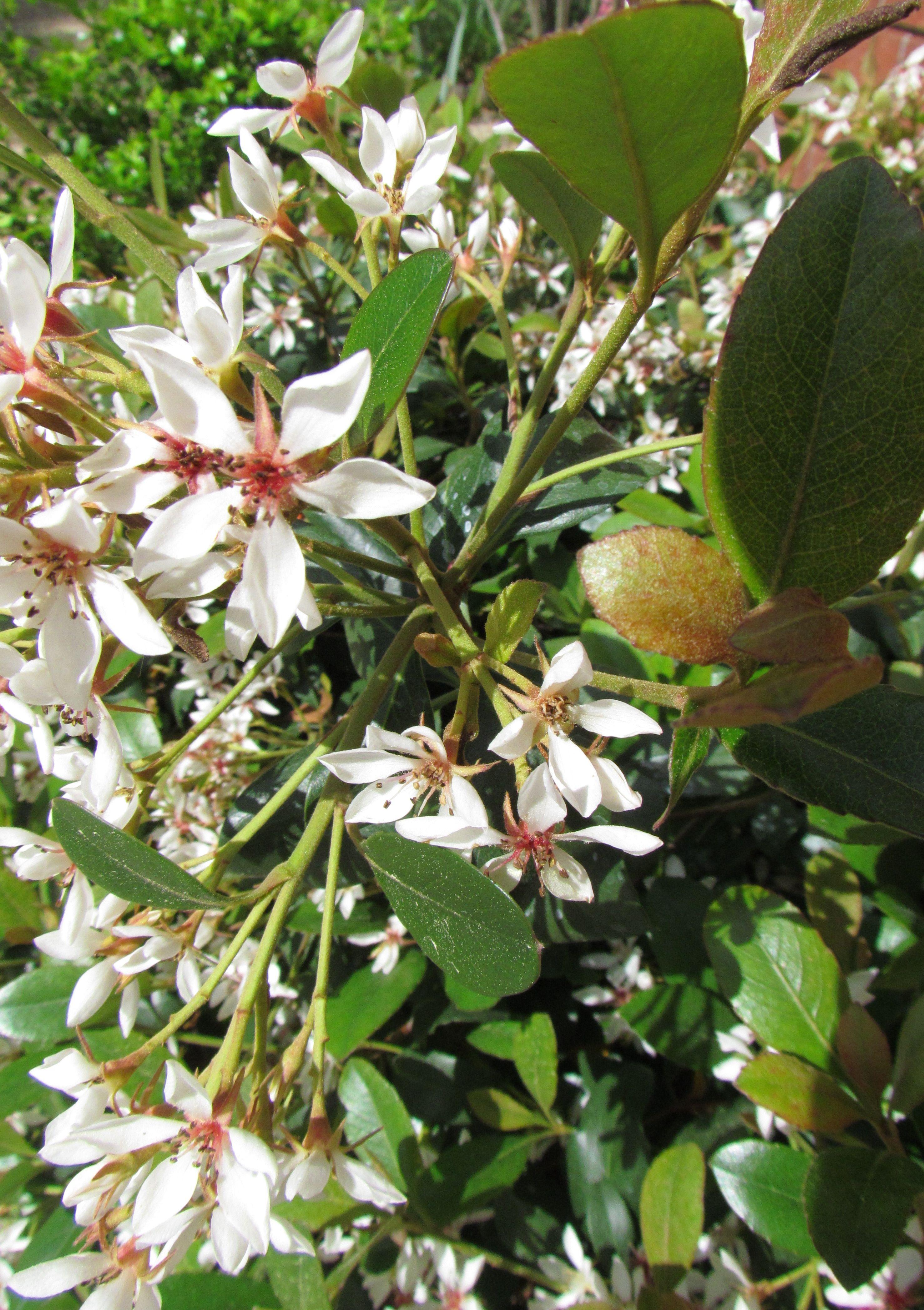 Indian Hawthorn Flower Color