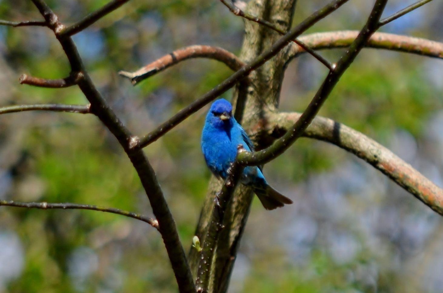 fgb backyard indigo bunting backyard birds pinterest