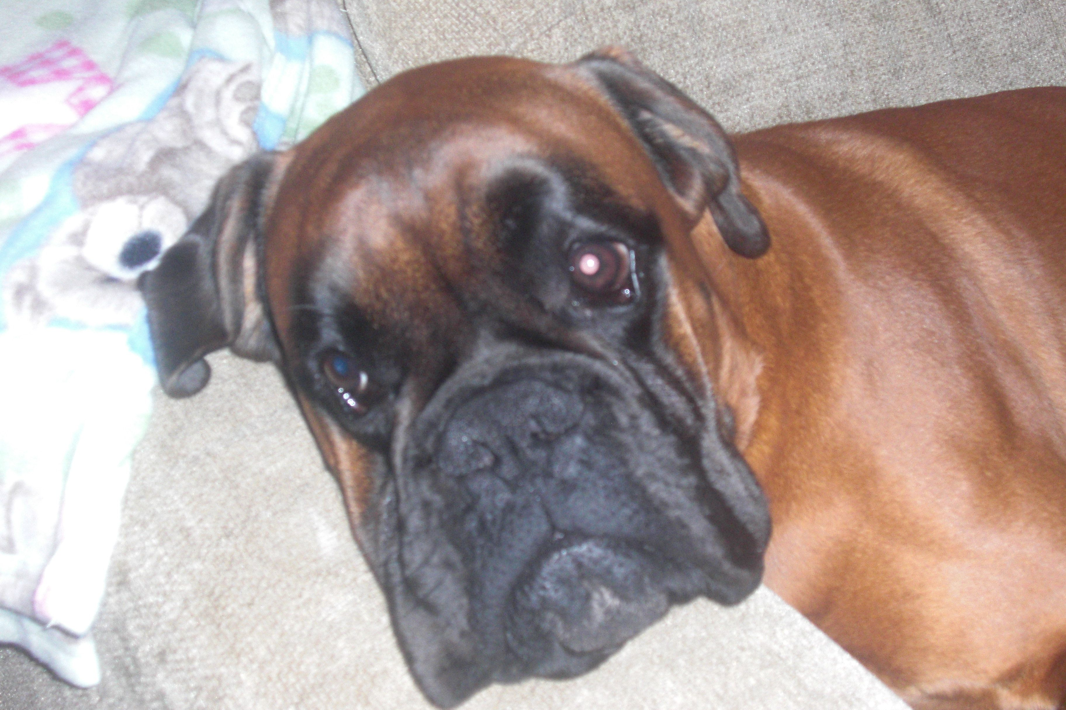 Bull Boxers Dogs Miss Charly   Dog Breeds Picture