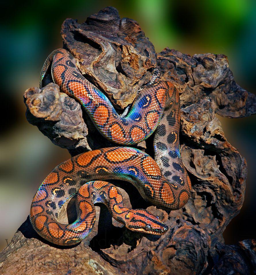 Brazilian Rainbow Boa..... | Serpentes | Pinterest