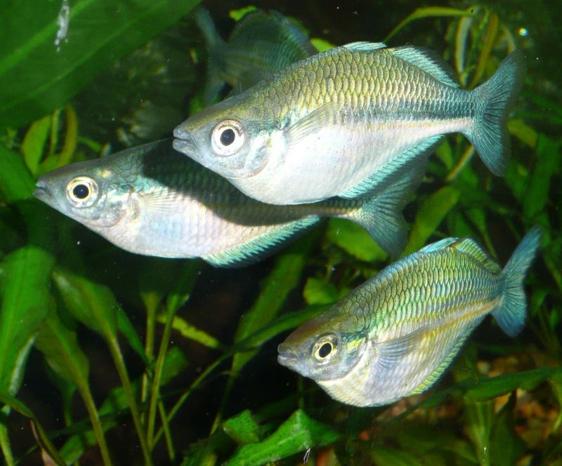 Turquoise rainbow fish freshwater aquarium fish pinterest for Freshwater rainbow fish
