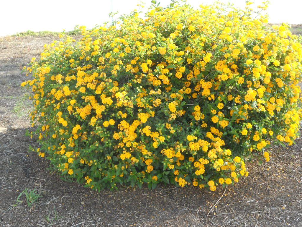 Yellow flower bush landscape pinterest for Flowering landscape bushes