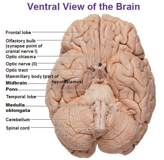Similiar Ventral Of The Optic Nerve Brain Keywords