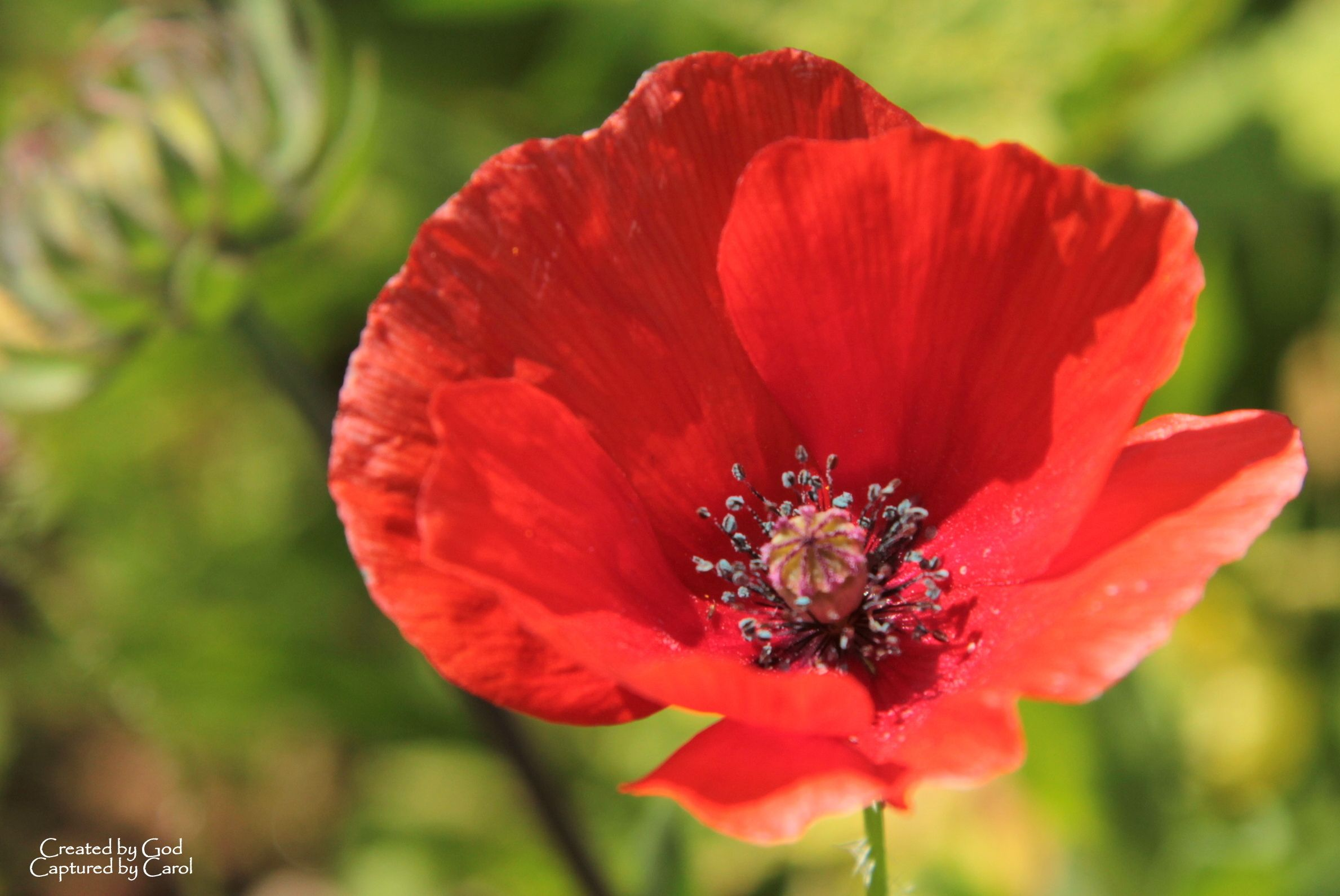 memorial day red poppy