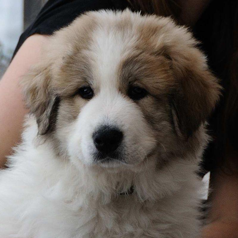 Pyrenean Mountain Dog | Dogs | Pinterest