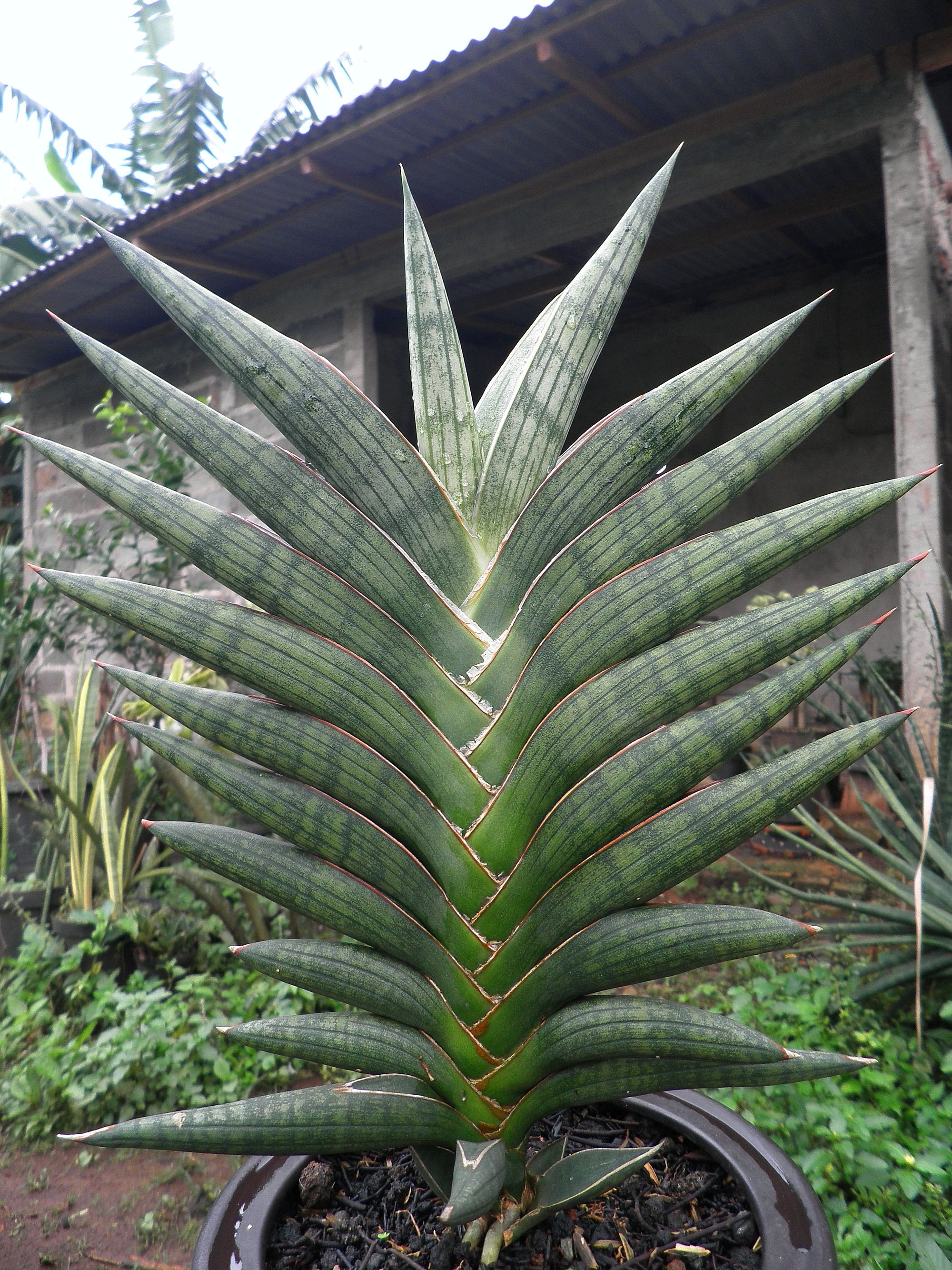 sansevieria sufruticosa var sufruticosa sansevieria plant pinterest. Black Bedroom Furniture Sets. Home Design Ideas