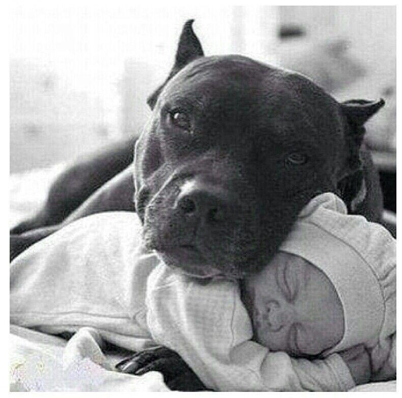 Guard dog | Pit bull Love / End BSL | Pinterest