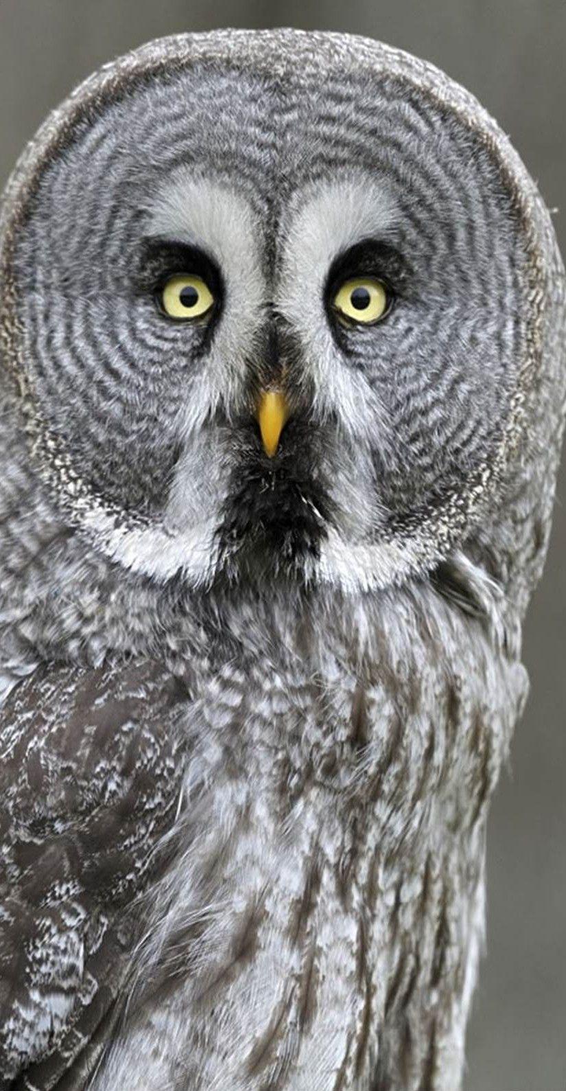 Great Gray Owl (Strix Nebulosa). | Owls | Pinterest