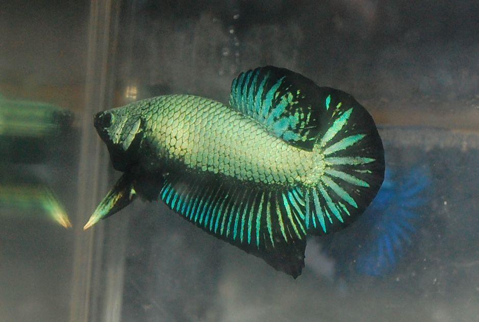 Green female betta fish betta fish pinterest for Female betta fish pictures