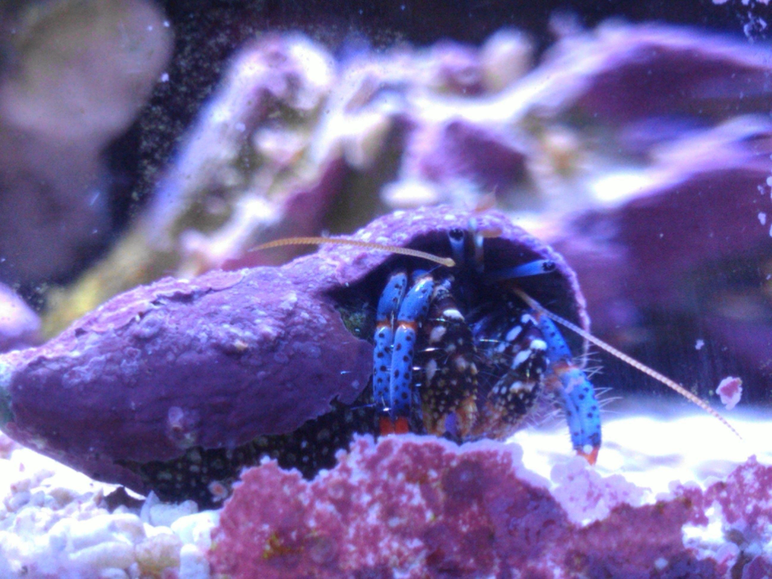 ... hermit. 3 gallon pico tank Reef tanks & Marine inverts Pinte