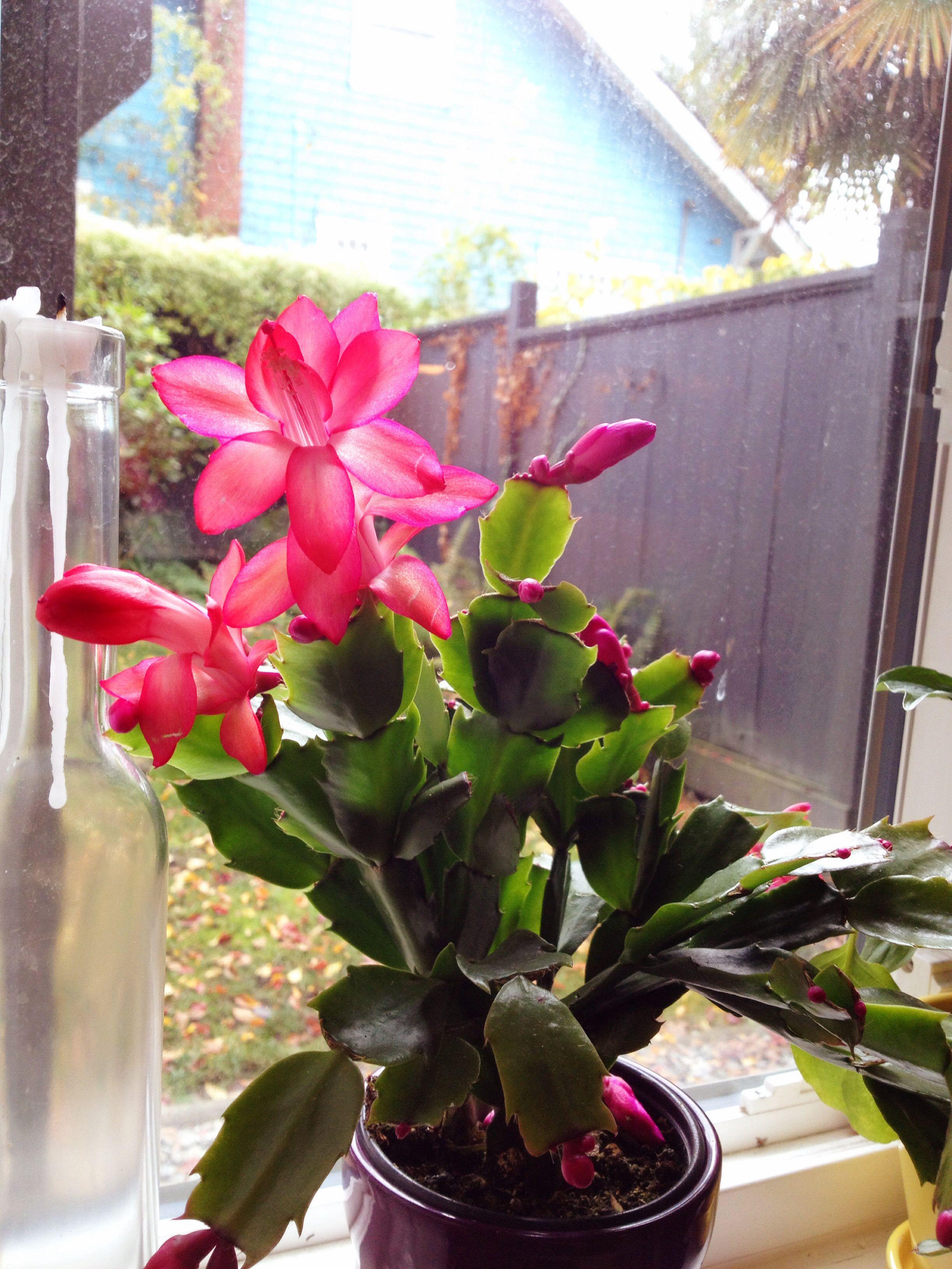 christmas cactus in bloom plants pinterest. Black Bedroom Furniture Sets. Home Design Ideas