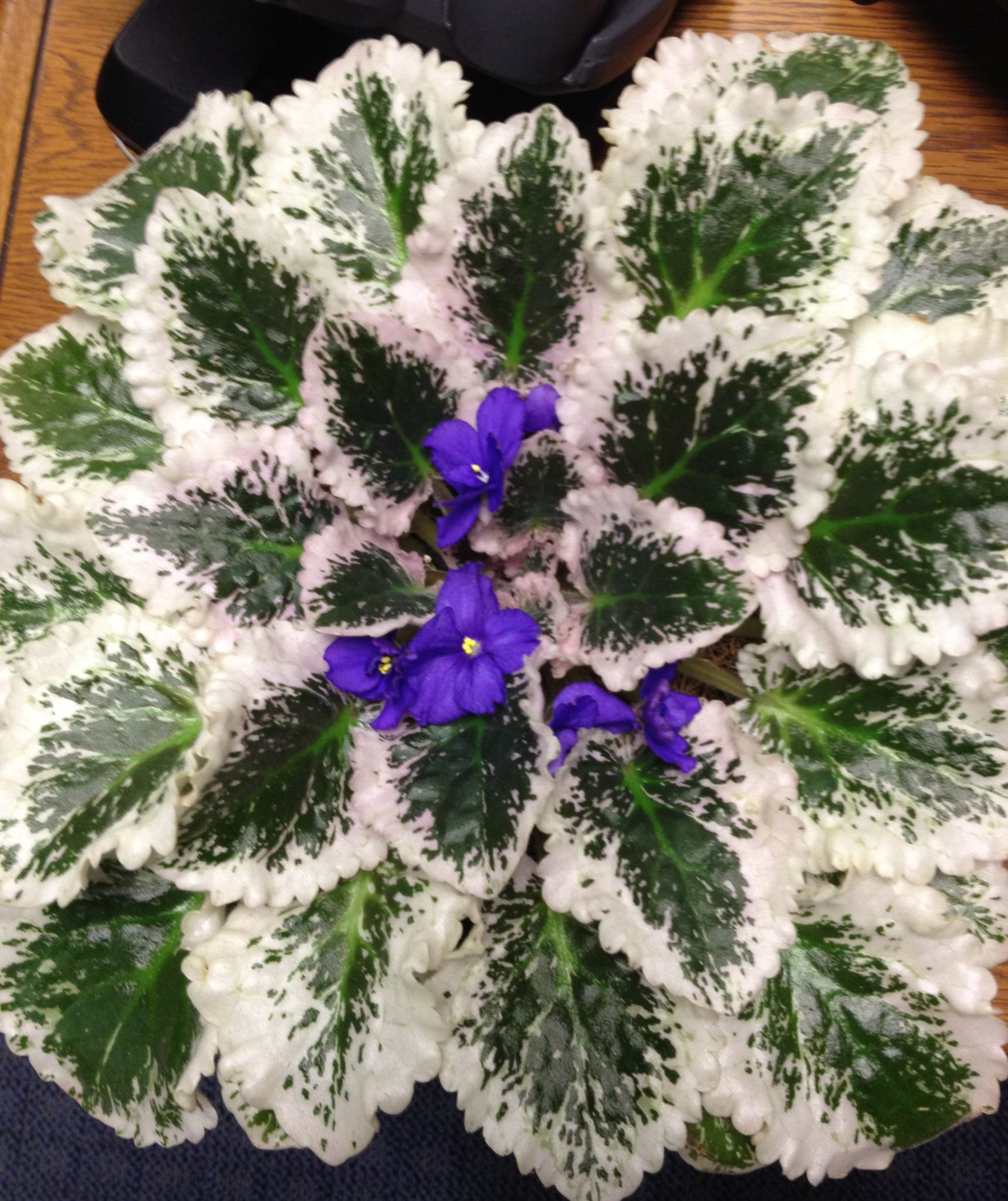 African violet in bloom | African Violets | Pinterest