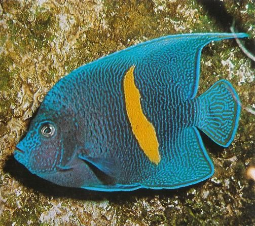 Spotted angel fish Saltwater Marine life & Coral Reef Pinterest