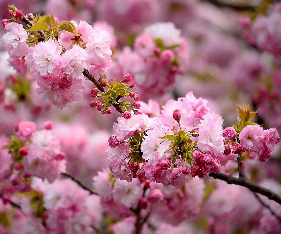 Japanese cherry blossom tree cherry blossom pinterest Japanese cherry blossom tree