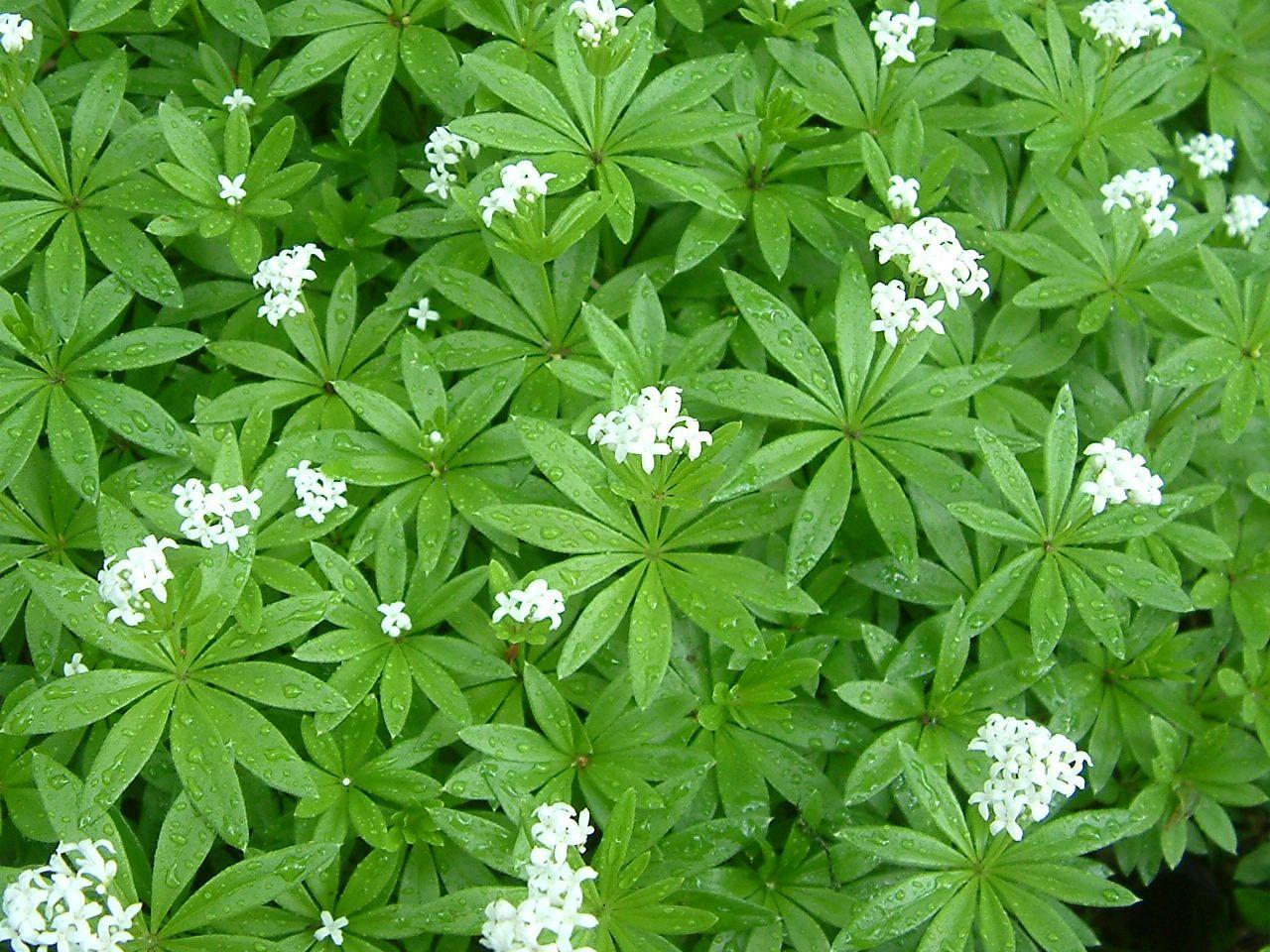 galium odoratum sweet woodruff wanko res plants. Black Bedroom Furniture Sets. Home Design Ideas