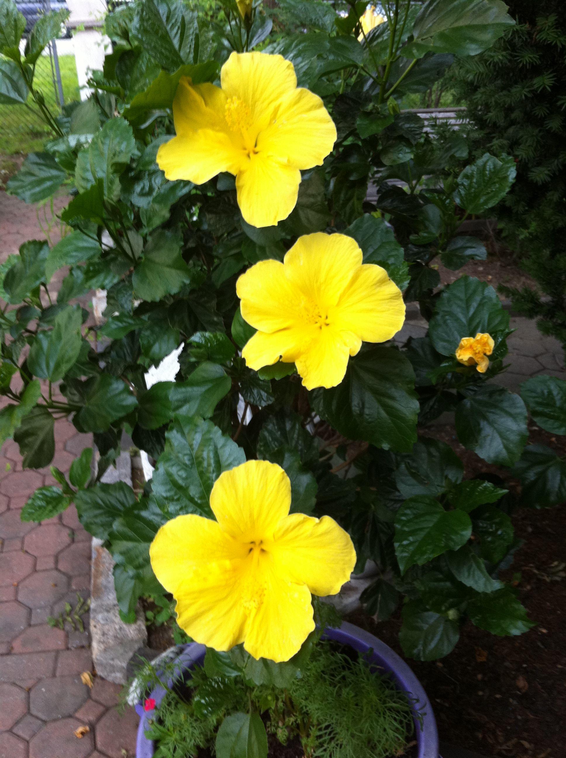 yellow hibiscus plant - photo #2