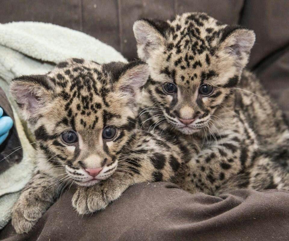 Black Panthers  Big Cat Rescue