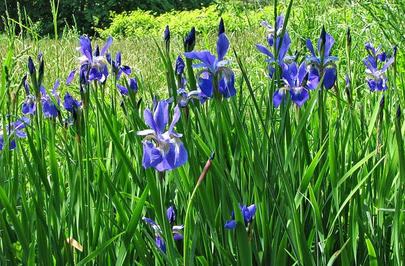 Blue Flag Iris Flowers I Dig Pinterest