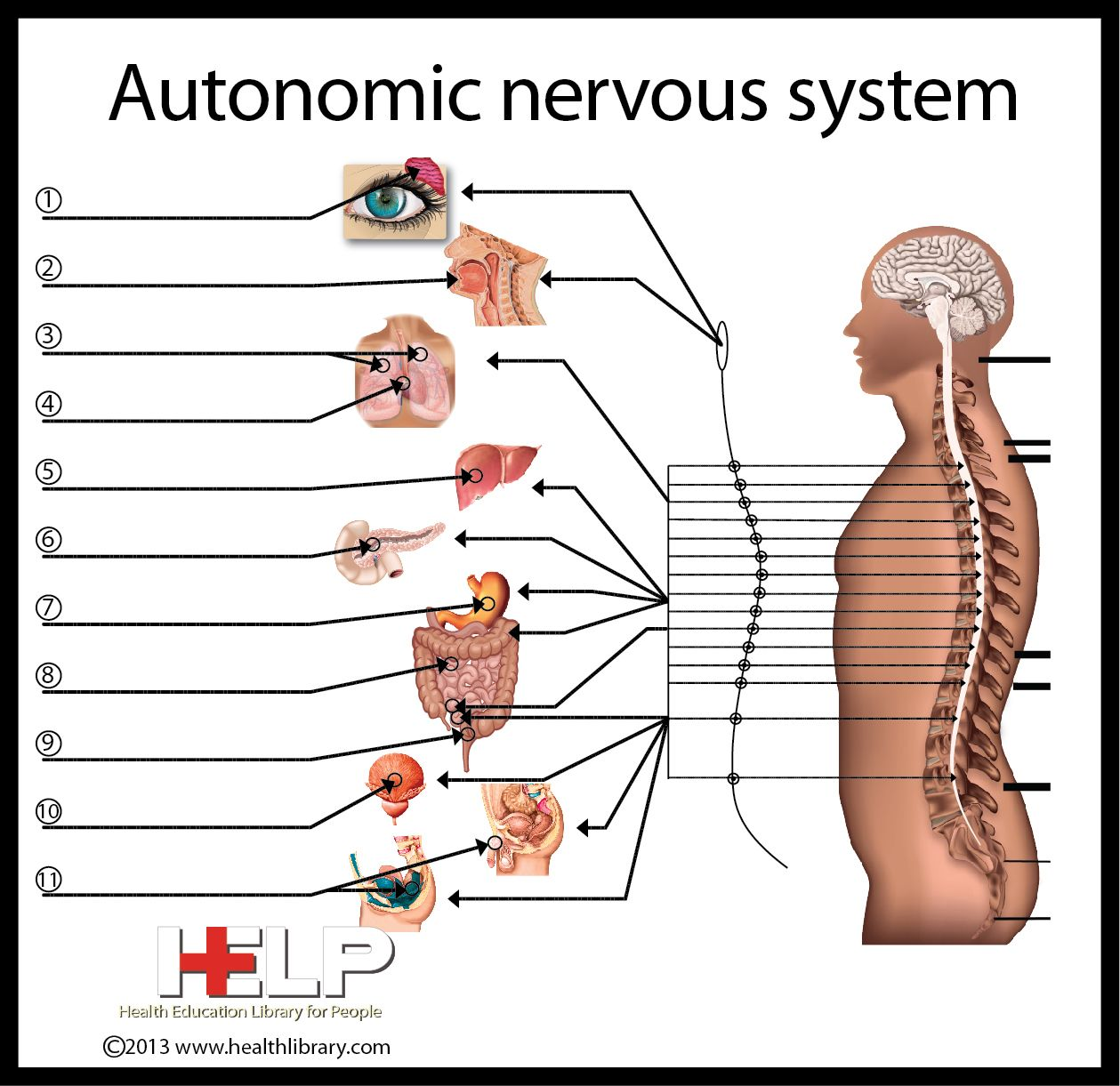 the autonomic nervous system Anatomy and physiology 1: chapter 14-the autonomic nervous system  in the somatic nervous system,  overall integration of the autonomic nervous system.