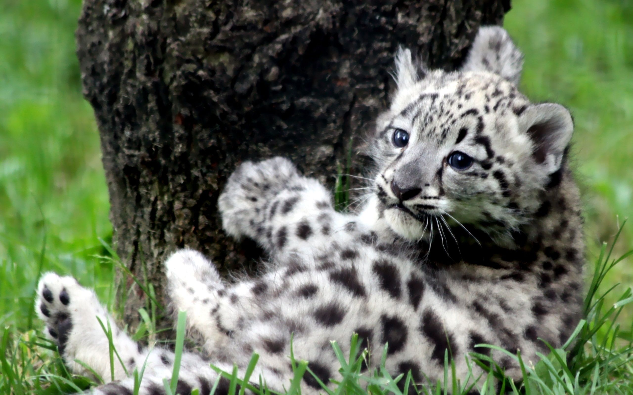 Snow leopard blue eyes baby