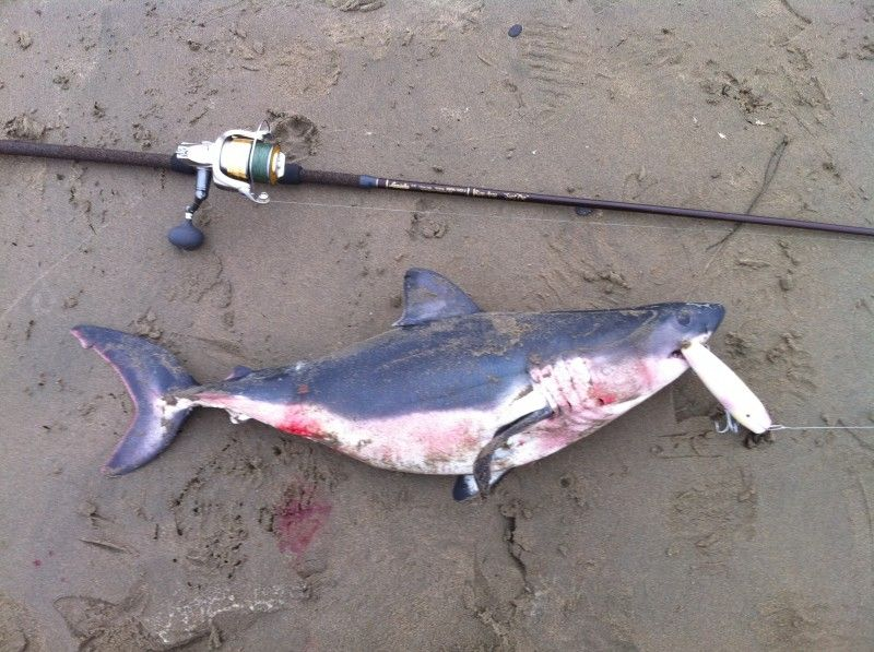 Salmon shark herefishyfishy pinterest for Shark rigs for surf fishing