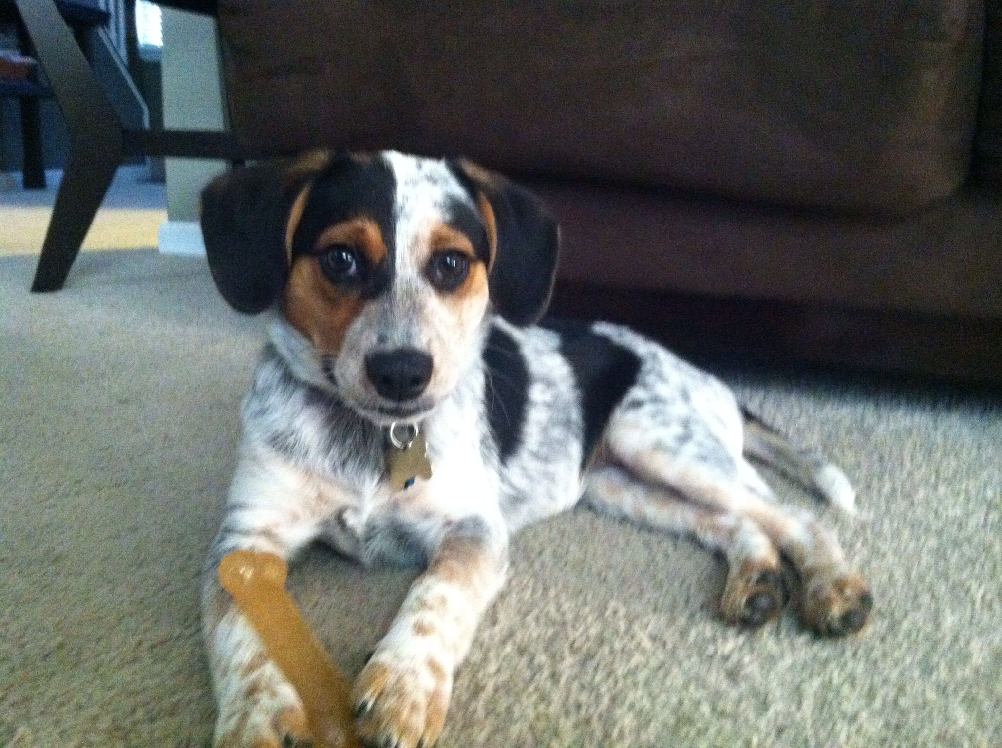 Blue Heeler Beagle Mix Puppies Images & Pictures - Becuo