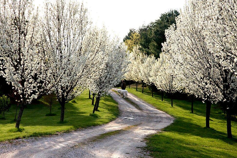 Bradford Pear Trees Stinky But Pretty My Dream Garden