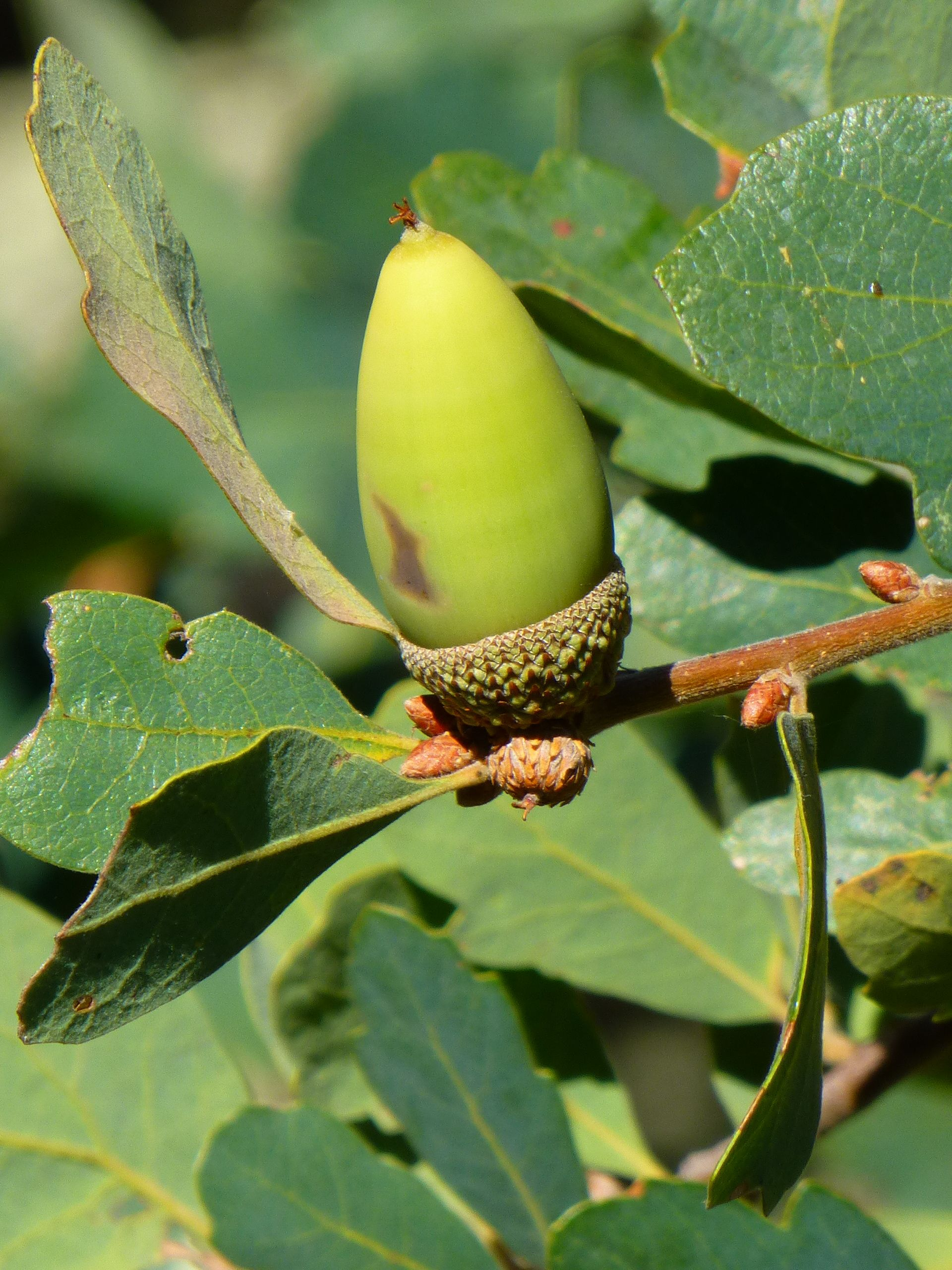 bluesBlue Oak Acorn