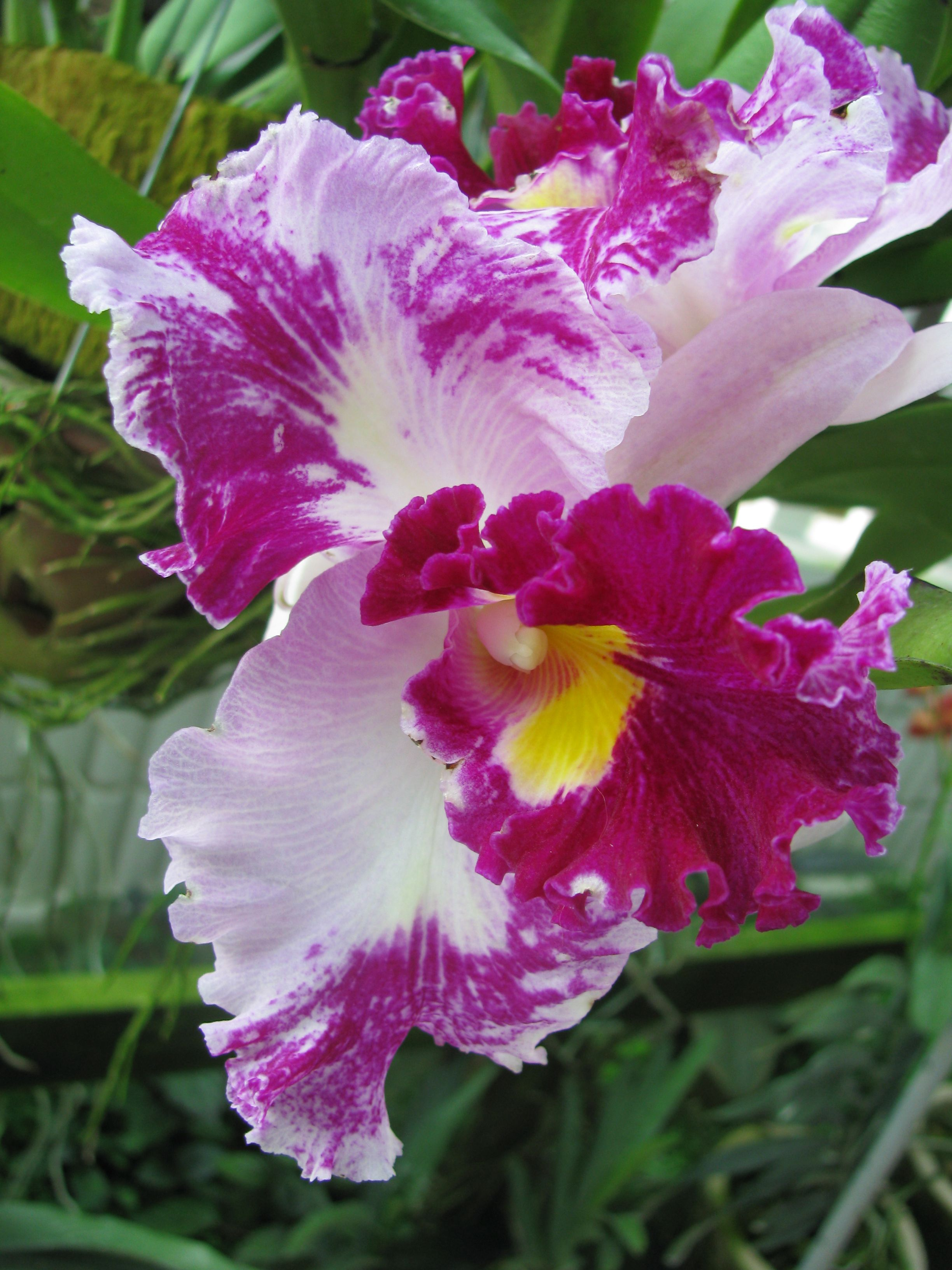 Cattleya orchid related keywords cattleya orchid long for Orchidea cattleya