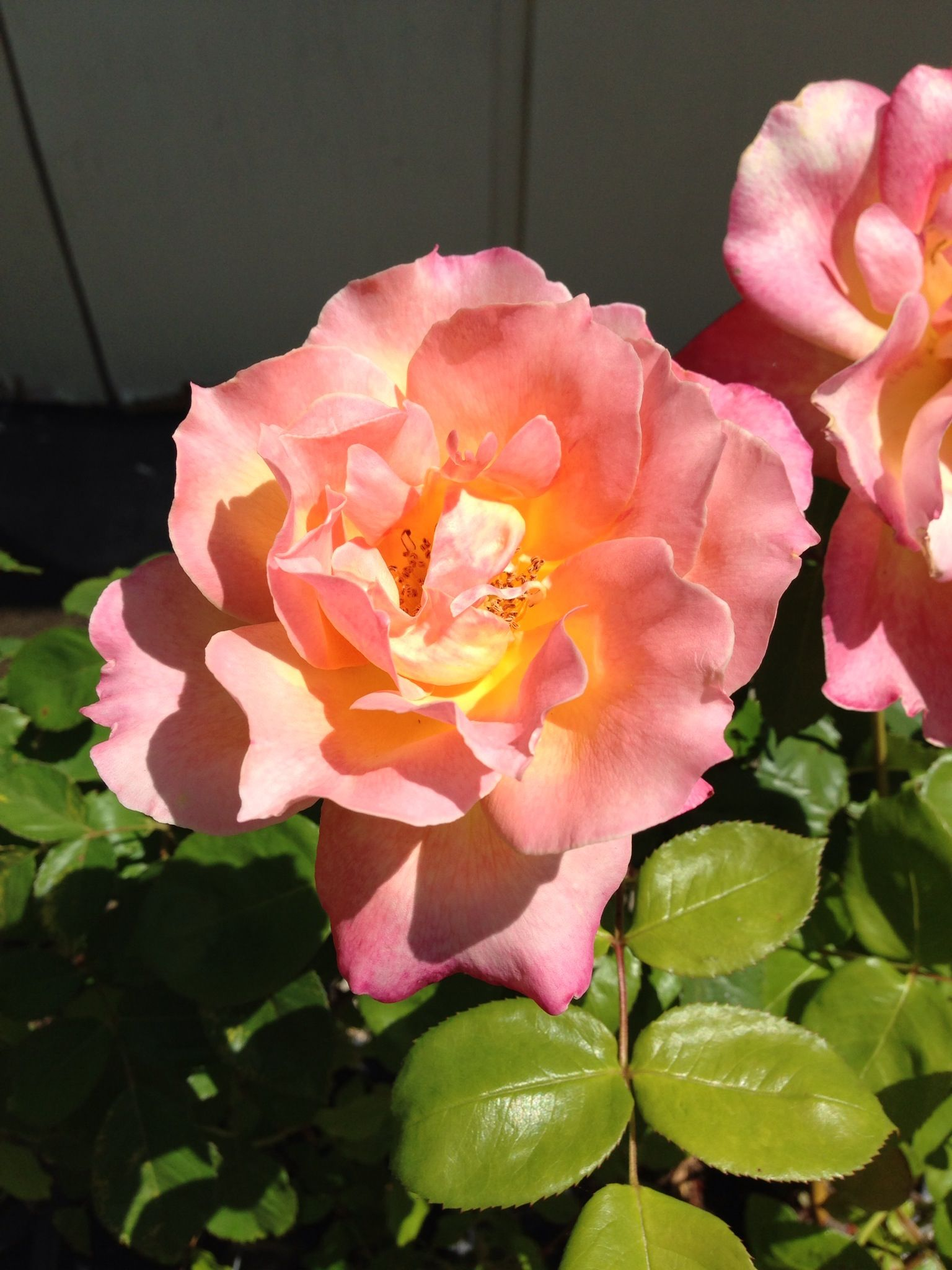 tri color rose roses pinterest