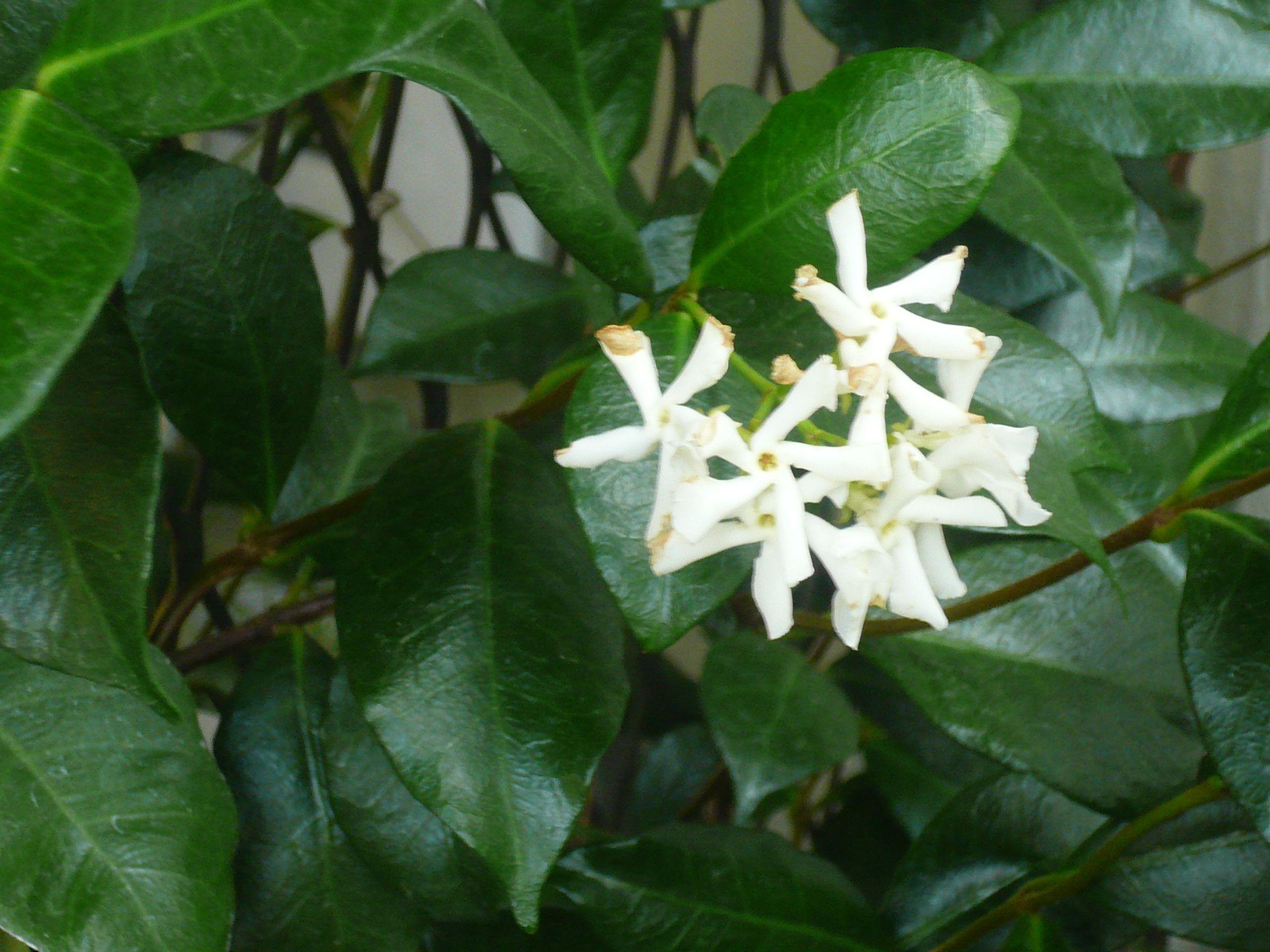 Climbing Jasmine | My flowers | Pinterest