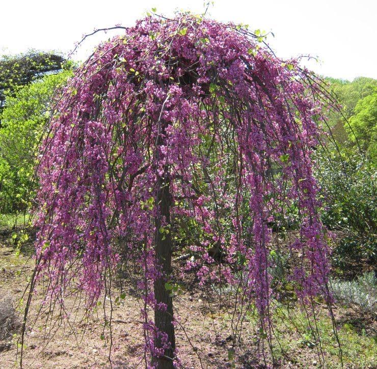 Cercis 'Lavender Twist' | Our Backyard | Pinterest