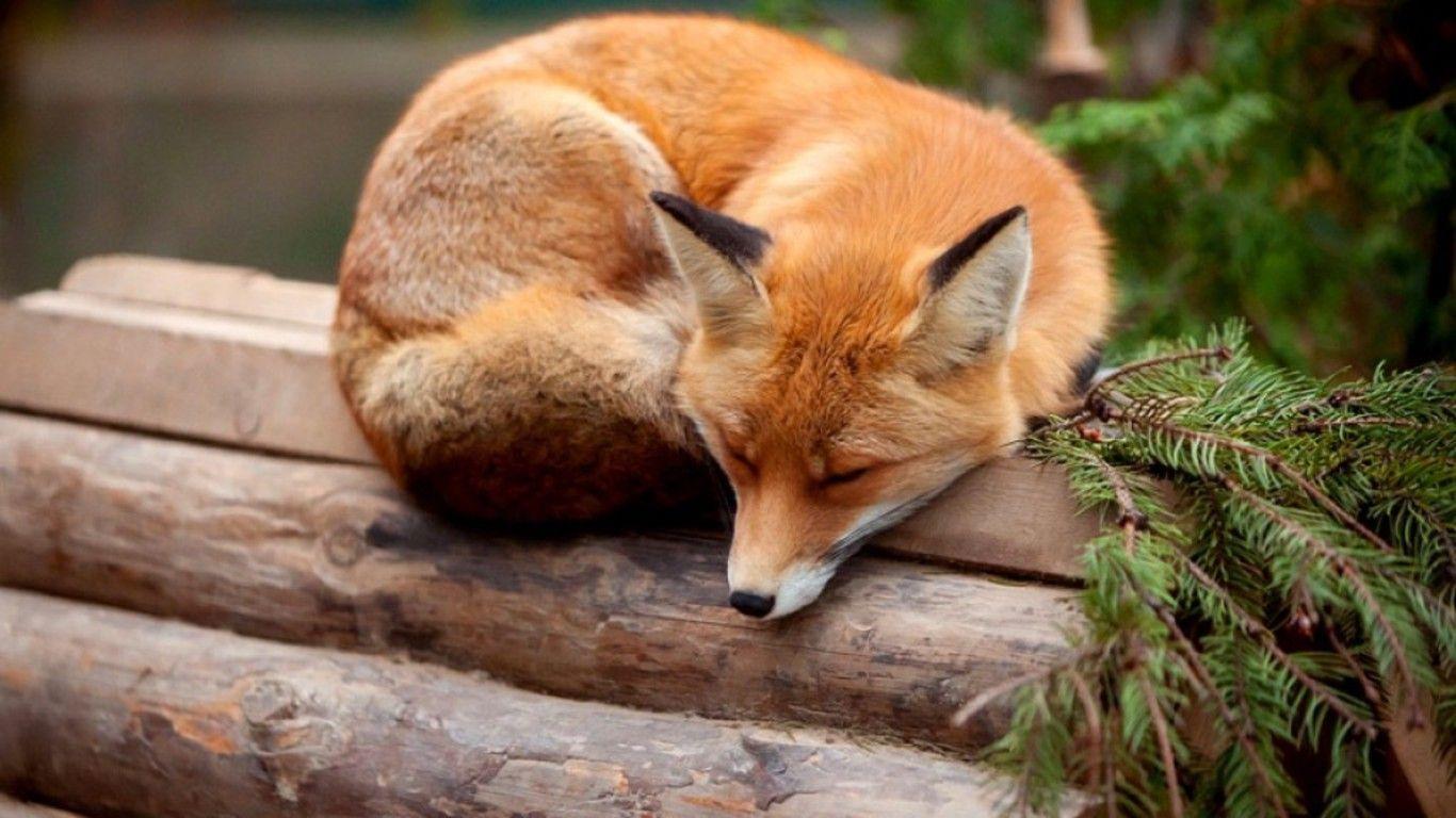 Sleeping Fox   ... Red Fox Illustration