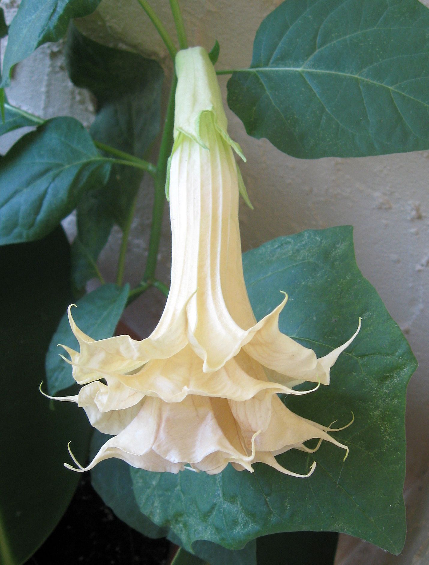 Single Angel Trumpet Flower Therapy