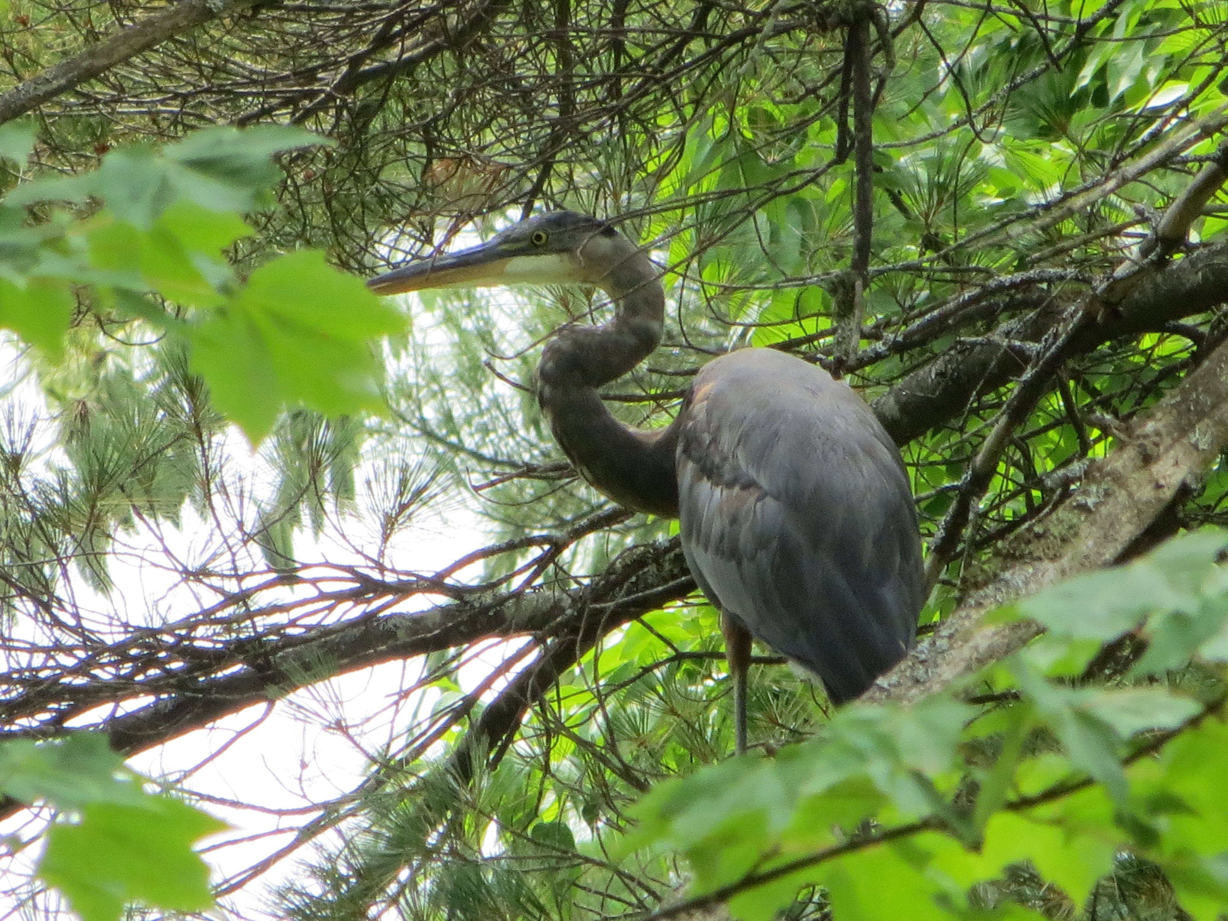 Great Blue Heron at Cranmore Mountain Lodge White Mountains New Hampshire