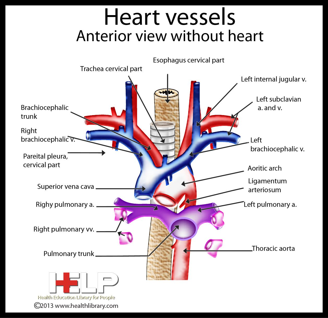 Vessels of the heart anatomy