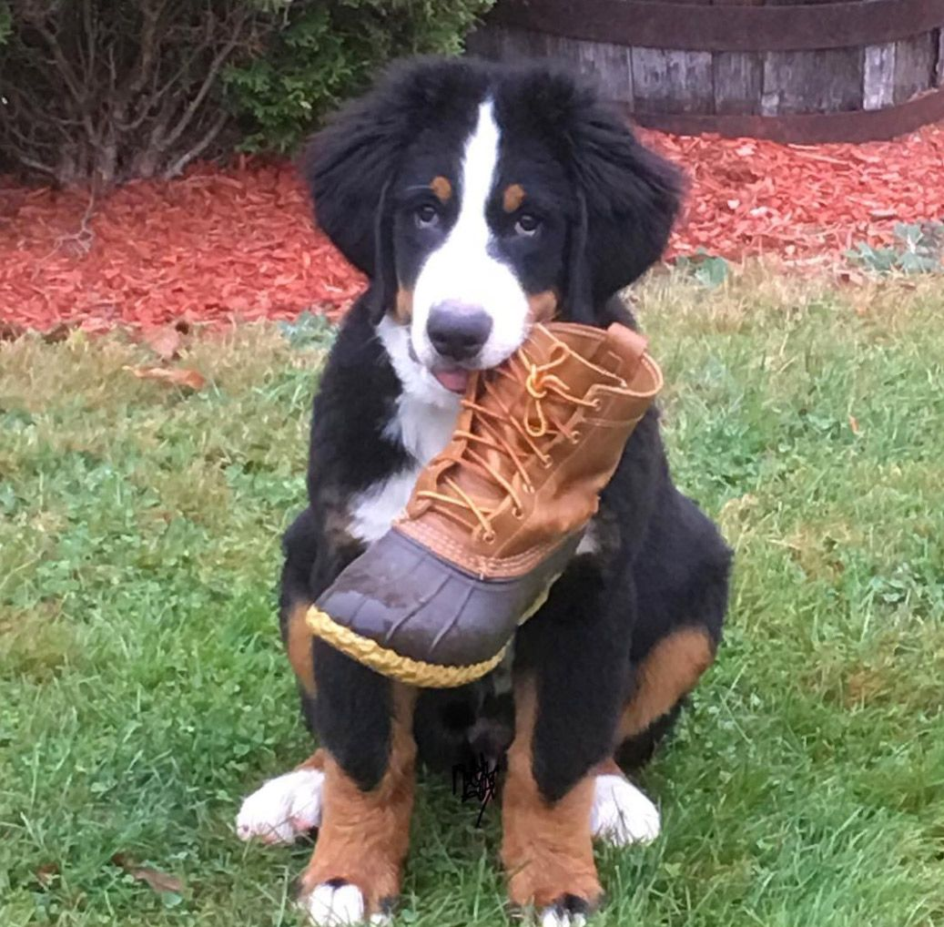 "...not what you meant when you said ""heel?"" #BeanOutsider (: Instagram's sully.theberner) L.L.Bean Boots"