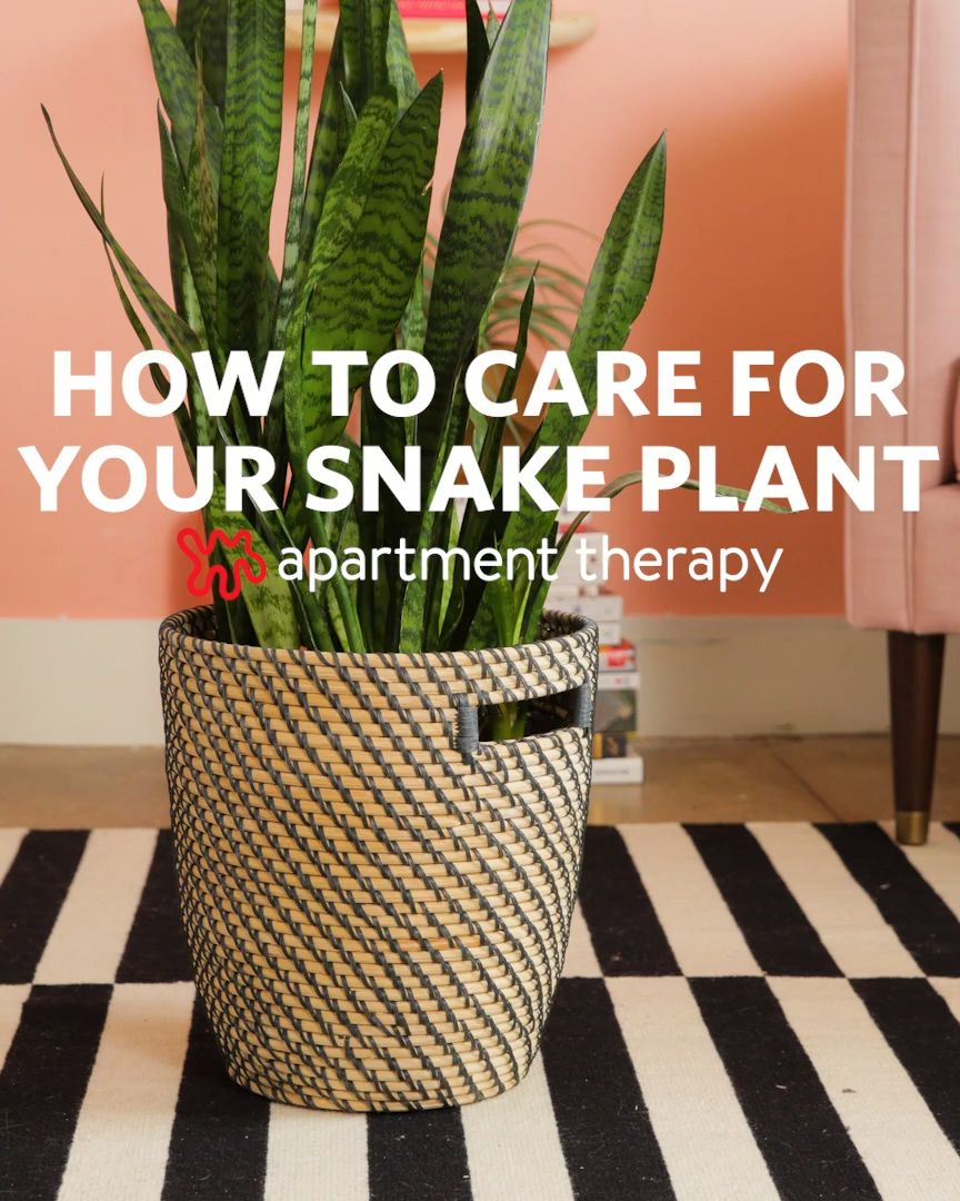 How To Grow and Care For Your Snake Plant
