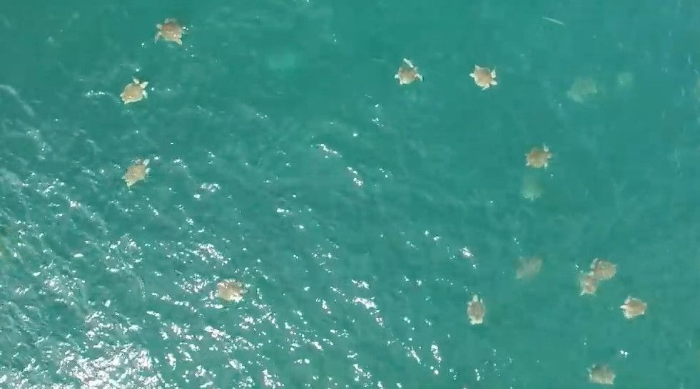 The density of turtles is so high that you could almost imagine crossing the sea by hopping from shell to shell.
